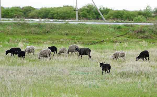 Житель Зауралья угнал машину и прокатил на ней украденную овцу
