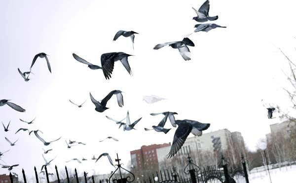 В Курганской области мужчина украл 17 голубей разных пород