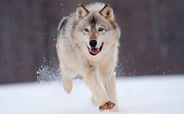 В Курганской области стало в два раза больше волков