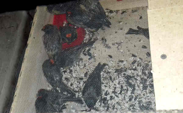 В Курганскую области без документов не пустили 140 канареек и 4 дрозда