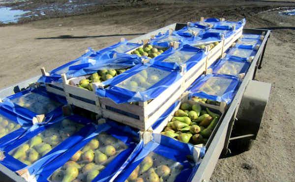 На полигоне в Кургане уничтожили тонну санкционных груш