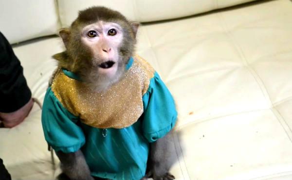 В Кургане через интернет продают цирковую обезьяну