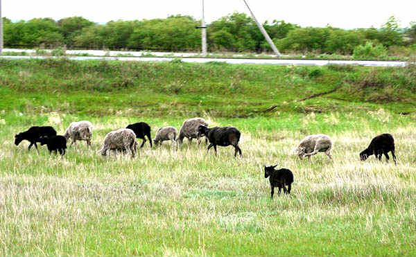 В Катайске у фермера украли 100 овец и 48 мешков овса