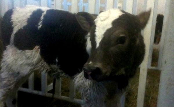 В Зауралье пять жителей соседнего региона украли 27 голов скота