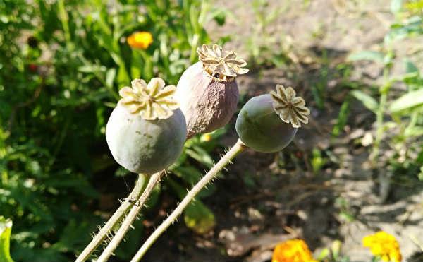 В Зауралье изъяли более 10 килограммов растительных наркотиков